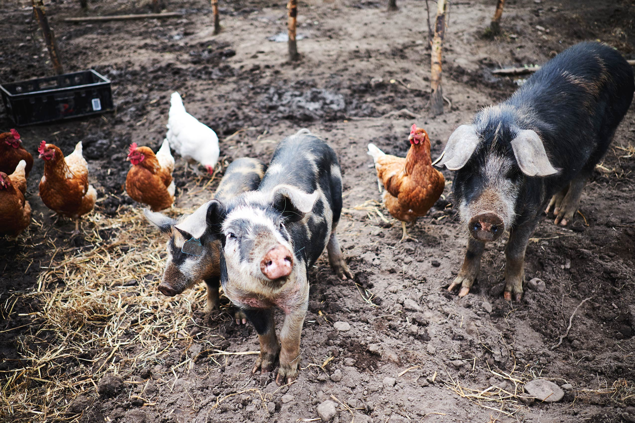 StedsansInTheWoods_Pigs_01_S
